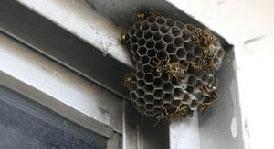 Уничтожение ос, осиных гнезд